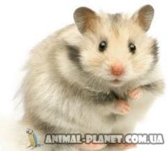Dwarfish Syrian hamster