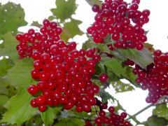 Саженцы ягодных культур , Саженцы ягодных