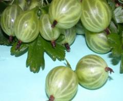 Саженцы ягодных культур 2
