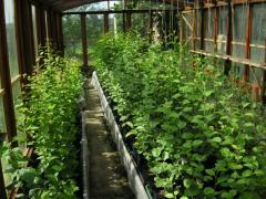Саженцы ягодных культур , Саженцы плодово-ягодные