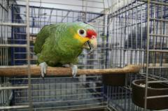 Manual parrot Krasnoloby amazon - baby birds