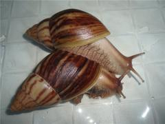 Huge African snail of Akhatin Immakulyat - manual