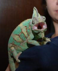 Manual bright panterovy chameleons - are rare