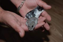 Dwarfish manual hamster, manual hamsters