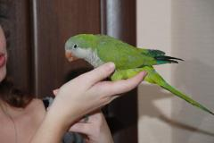 Manual Parrot Manakh - manual baby birds