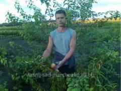 Саженцы персика - Персик Ред Хейвен