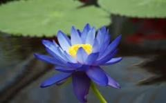 Seeds of a lotus blue