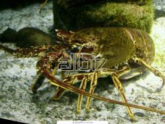 Crawfishes