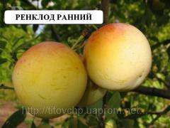 Саженцы плодовых Слива сорт Ренклод ранний
