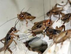 Fodder insects: banana cricke