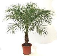 Palma Yukka