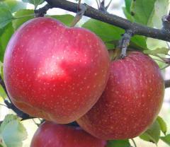 Сортовые кронированные саженцы яблони :  Айдаред