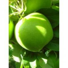 Сортовые кронированные саженцы яблони : Грани Смит