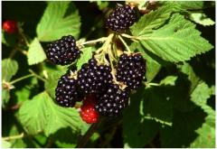Blackberry Apache (Apache)