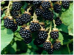 Blackberry Sucker Tya (Loch Tay)
