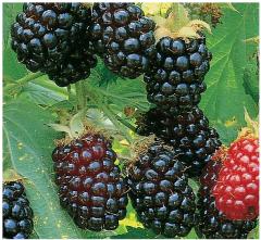 Blackberry Polar (Polar)