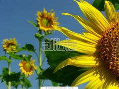 The calibrated sunflower wholesale. Sale across
