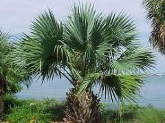 Palm tree extract palme