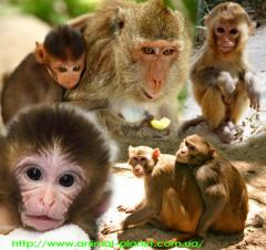 The baby the monkey - a vervetka is on sale right