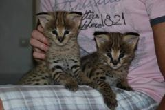 Servala for cultivation, females are domestic cats