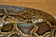 Domestic manual python of Python molurus