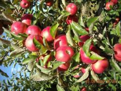 Apples of grade of Florin. Winter apples