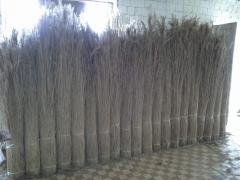 Cane, reed, rogoz in sheaves