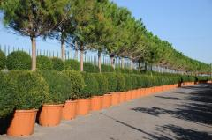Sale of ornamental plants Pistoia Piante (Italy).