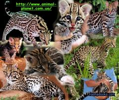 We bring to your attention kotyatserval of house