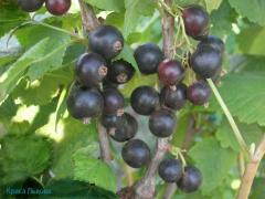European black currant saplings Beauty of Lviv