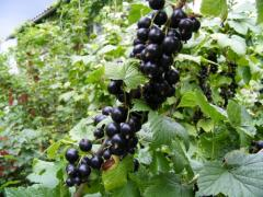 Саженцы смородины черной сорта Владимирская