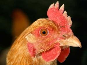 Курица -несушка