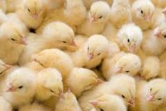 Цыплята Редбро, Мастер, Испанка, бройлер Кобб-500,