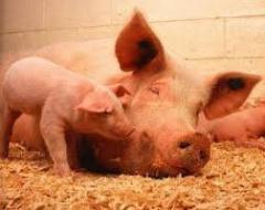 Полноценный комбикорм для свиней