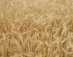 Seeds of summer barley Donetsk 14 2r