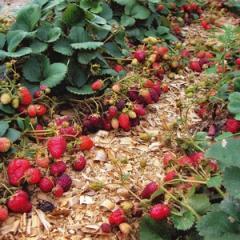 Saplings of garden wild strawberry of grade Irma