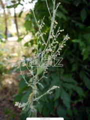 Трава полыни оптом и в розницу