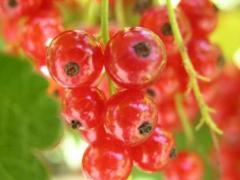 Саженцы красной смородины Асора