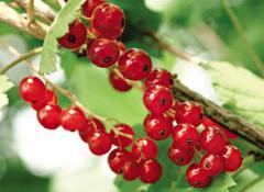 Саженцы красной смородины сорта Вика