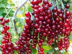Саженцы смородины красной сорта Святкова