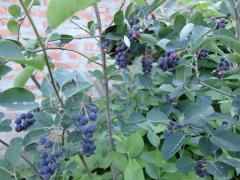 Mespilus saplings