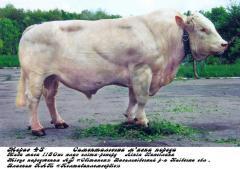 Сперма быка Морас (симментальская мясная...