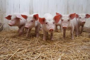 The TORFOVIT feed additives for pigs, additives