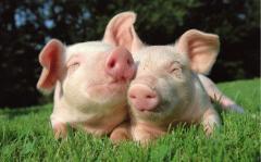 Кормовые добавки, добавки кормовые для свиней, Свиньи перед опоросом за месяц до опороса Украина