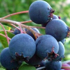 Саженцы плодово-ягодные. Саженцы ирги