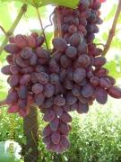 Саженцы винограда Гармония