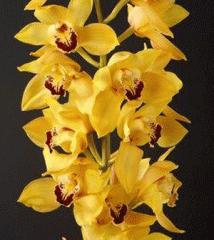 Жовта орхідея