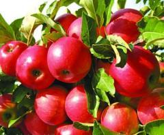 Puieti de măr