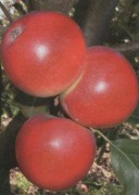 Саженцы яблони  Катя