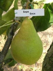 Grade pear saplings Bør Bosk (Bør Alexander)